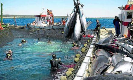 El 'renacer' de la especie que hace que los pescadores de Murcia se froten las manos
